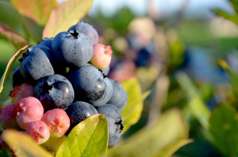 Legume si fructe Afine Vama Buzaului